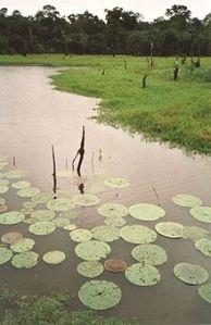 O Lótus em Manaus